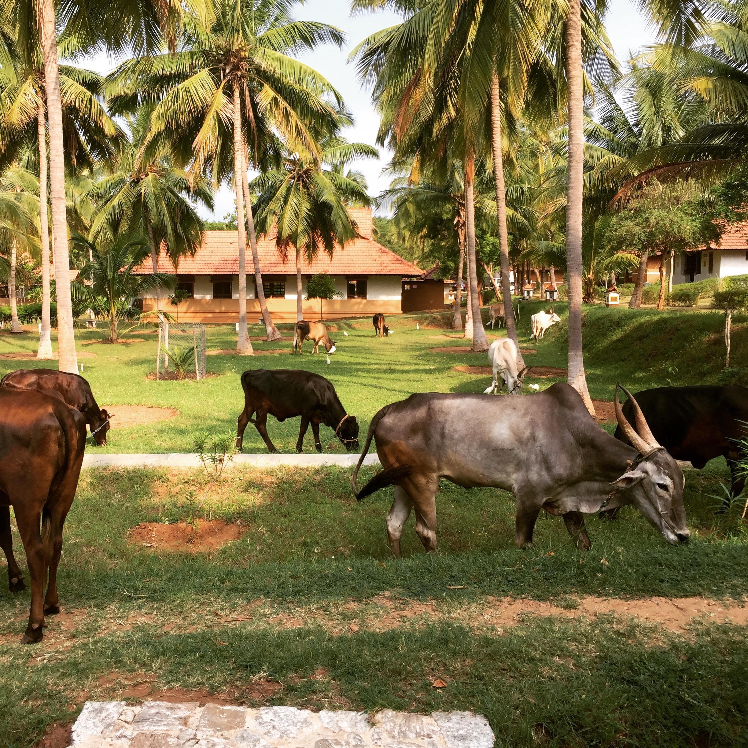 COWS AT MAITREYI.jpg